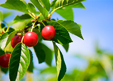 Order your tart cherries today!
